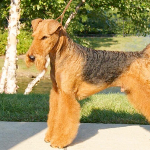 Airedale Terrier Grooming Bathing And
