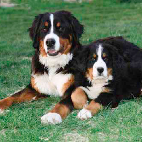 Bernese Mountain Dog Grooming Bathing And Care Espree