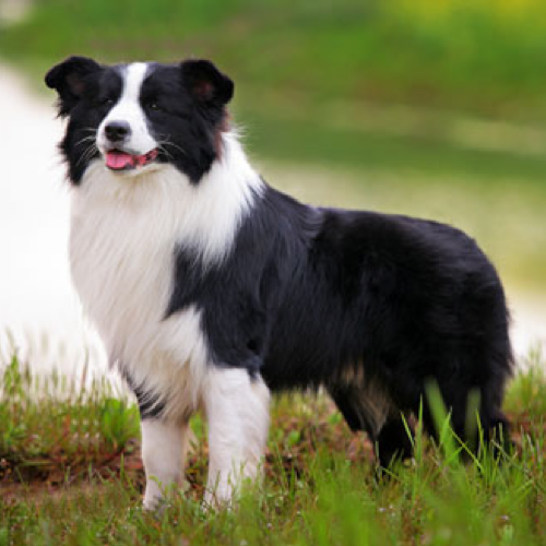 Border Collie Grooming Bathing And Care Espree