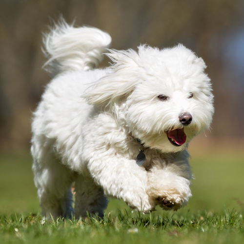 Coton De Tulear Grooming Bathing And