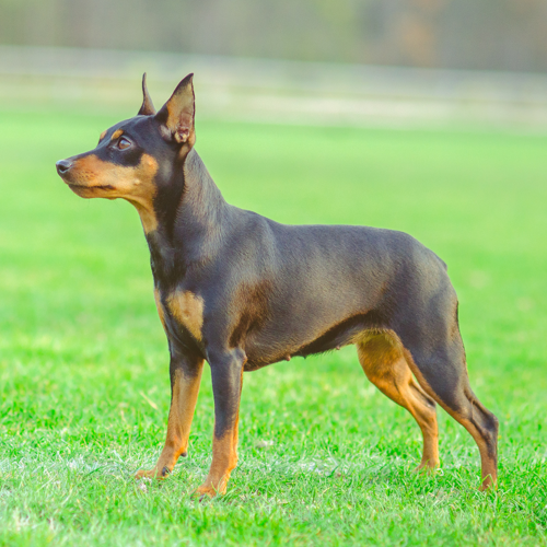 Miniature Pinscher Grooming Bathing
