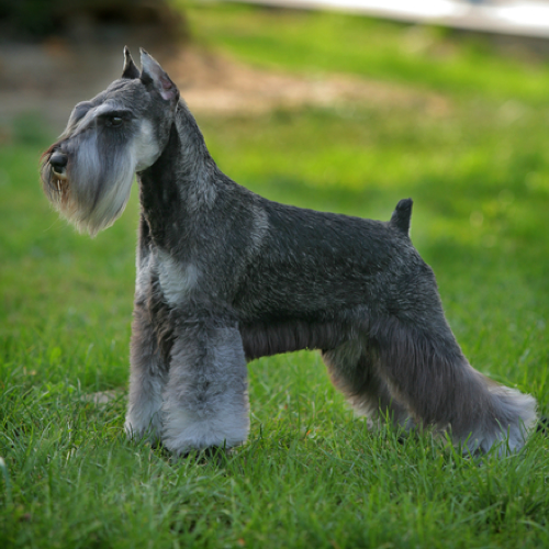 Miniature Schnauzer Grooming Bathing