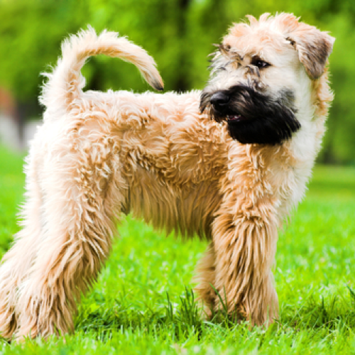 Soft Coated Wheaten Terrier Grooming Bathing And Care Espree